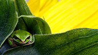 Tree Frog Hanging Out