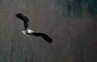 Nooksack River Bald Eagles 01/06/13