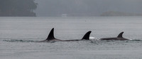 Orcas In The Mist 3