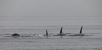 Orcas In The Mist 1