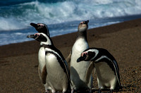 Magellanic Penguins of Argentina