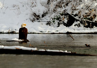 Bald Eagle on the Skagit River