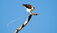 Magnificent Pooping Osprey!