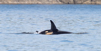 Mom & Baby Killer Whale (L122 & L91)