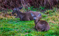 Two Deer Easing In To Morning
