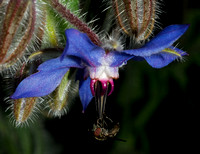 Bug on Borage