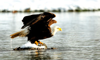 Bald Eagle Taking Flight from the Skagit River