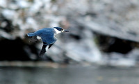 Kingfisher on the Skagit River