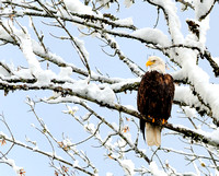 Bald Eagle Enjoying First Snowfall on the Skagit River