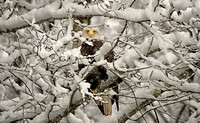 Bald Eagle Peeking Through Snow on Skagit River